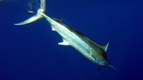 Marlin noir avant relache - www.rodfishingclub.com - Rodrigues - Maurice - Océan Indien