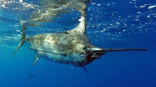 Nice blue marlin on trolling - www.rodfishingclub.com - Rodrigues - Mauritius - Indian Ocean