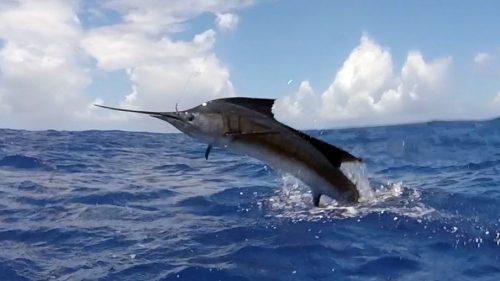 Sailfish on trolling - www.rodfishingclub.com - Rodrigues - Mauritius - Indian Ocean